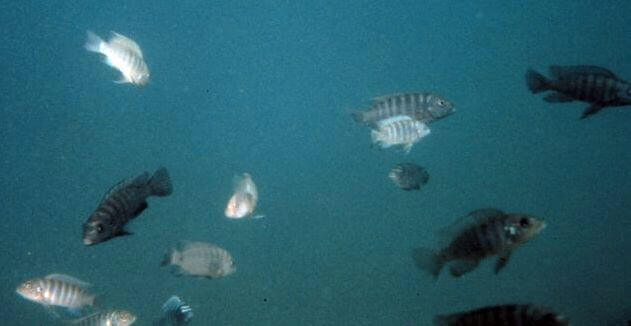 Buntbarsche im Malawisee