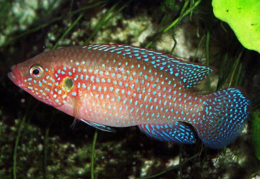 Buntbarsche Cichlidae