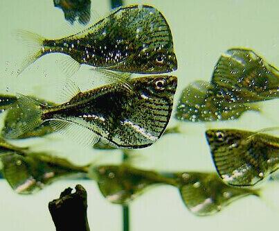 Beilbauchfisch
