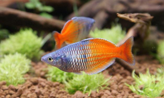 Der Regenbogenfisch im Aquarium